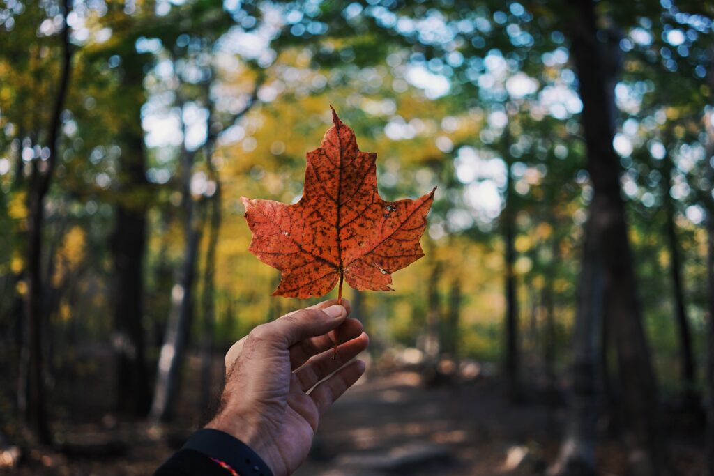 A hand holding a maple leaf